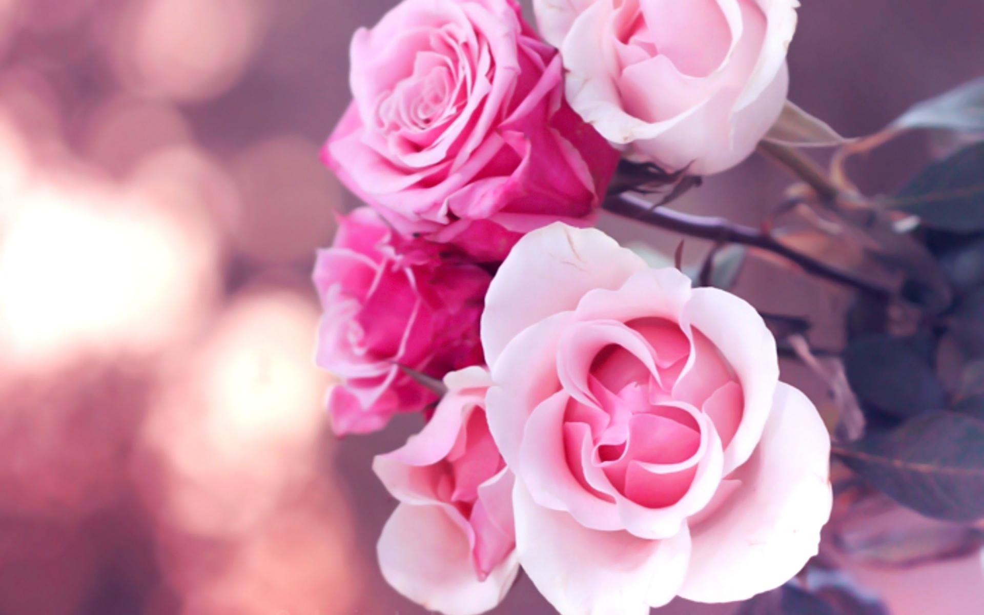 6776168 Beautiful Pink Roses Wallpaper