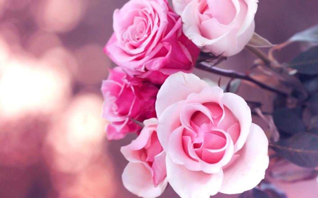 6776168-beautiful-pink-roses-wallpaper