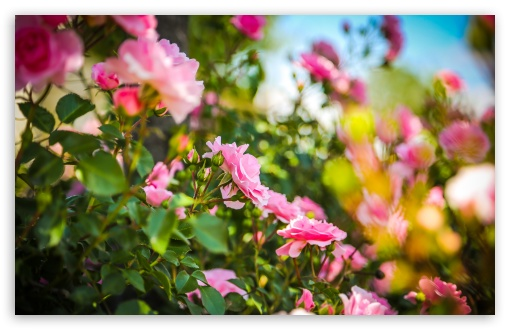 pink_roses_6-t2